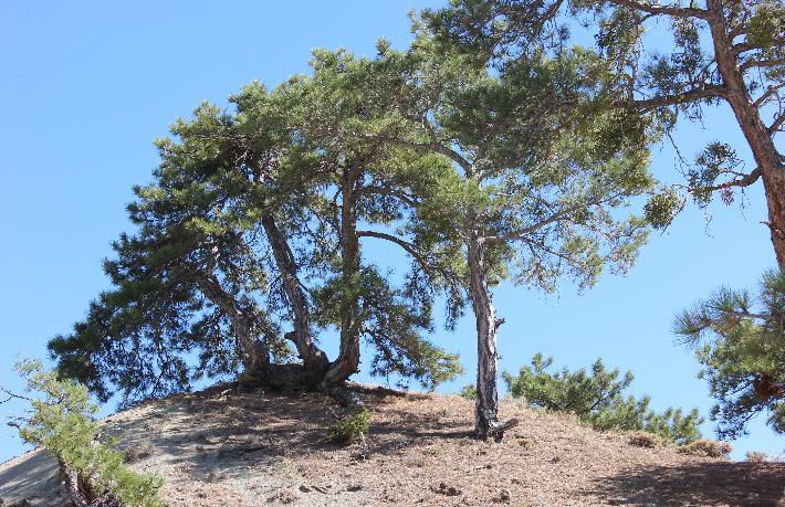 Dikli Ağacı Olmak...