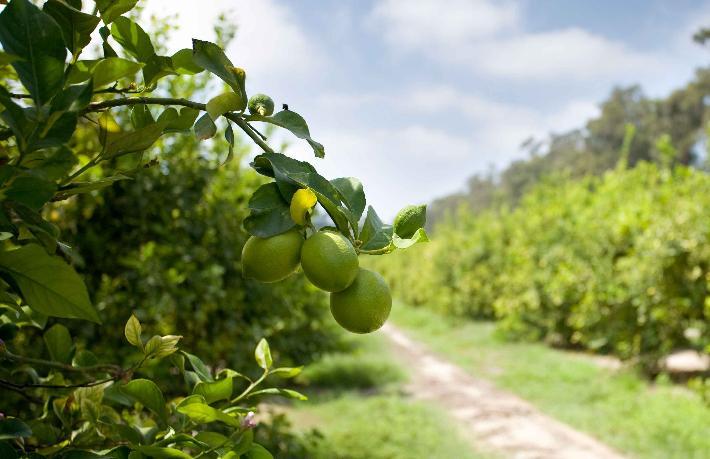 Mis kokan limon bahçeleri tatil köyü olursa... Çok beklersiniz Alman'ı, İngiliz'i